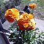 Orange Ranunculus (Ranunculus asiaticus)