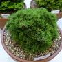 Pinus mugo Zwergkugel