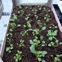 viola seedlings for PANSYPOTTER