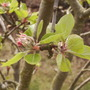 Buds breaking on the Family Apple Tree15.0.08 (Malus domestica (Vistabile))