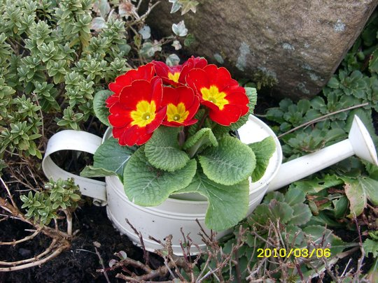 Primula Watering Can