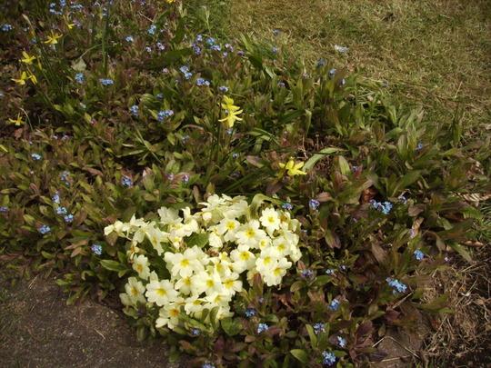 Primula & Dwarf Daffodils Front Path 15.04.08 (Primula)