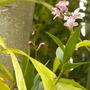 Dendrobium kengiananum - Dendrobium Orchid (Dendrobium kengiananum - Dendrobium Orchid)