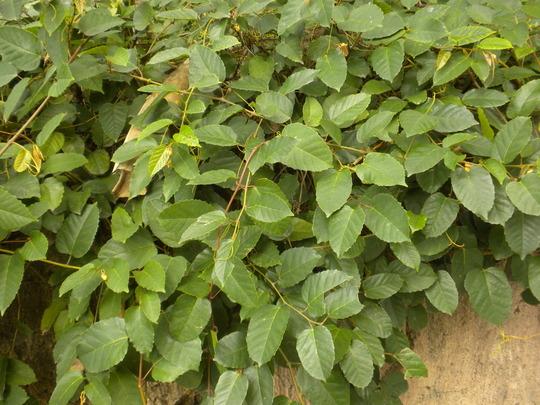 Cissus antarctica - Grape Ivy  Cissus antarctica - Grape Ivy Grape Ivy