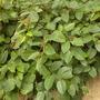 Cissus antarctica - Grape Ivy (Cissus antarctica - Grape Ivy)
