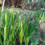 Minature daffodils 'Jenny'