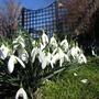 Snowdrops (Galanthus Woronowii)
