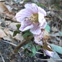 Helleborus thibetanus - 2010 (Helleborus thibetanus)