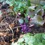 Purple gem and Cyclamen com (Cyclamen coum)