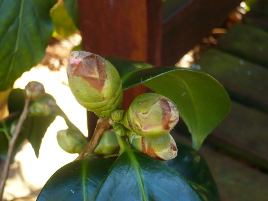 New buds on Camellia (Camellia azalea)