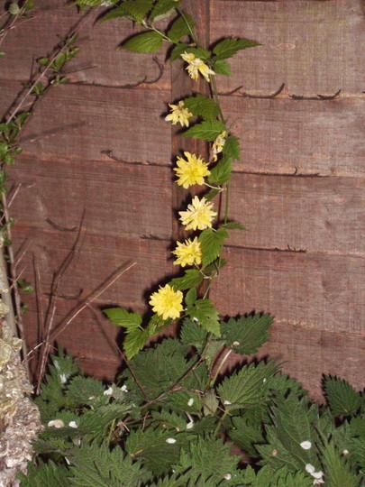 Kerria (Common Name: Jew's Mallow; Batchelor's Buttons) (Kerria japonica 'pleniflora)