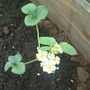 flowers on my strawberries