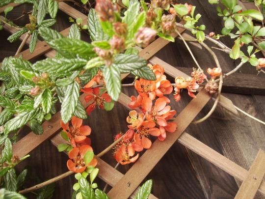Chaenomeles (Flowering Quince; Japonica) on Patio Trellis, Vistabile 04.08 (Chaenomeles speciosa)