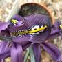 Iris_reticulata_j.s.dijt_