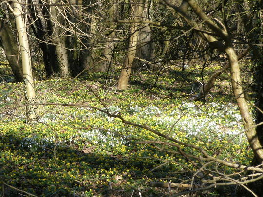 A wood full of Snowdrops and Aconites