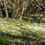 Snowdrops_and_aconites_1