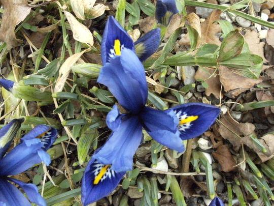 Iris  reticulata   ' Harmony '