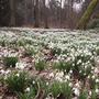 Snowdrop Woodland. (Galanthus nivalis (Common snowdrop))