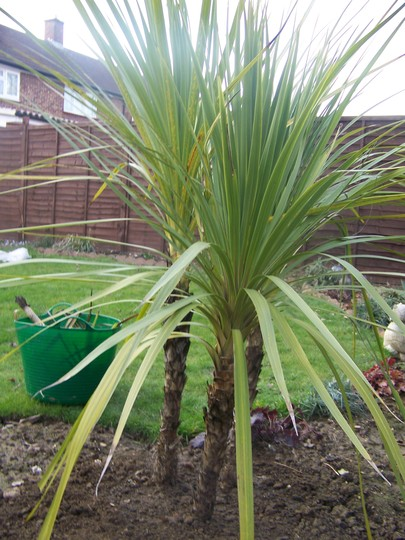 Nice and healthy after the Winter (Cordyline australis (New Zealand cabbage palm))