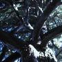 Douglas Fir (Pseudotsuga menziesii (Blue Douglas Fir))
