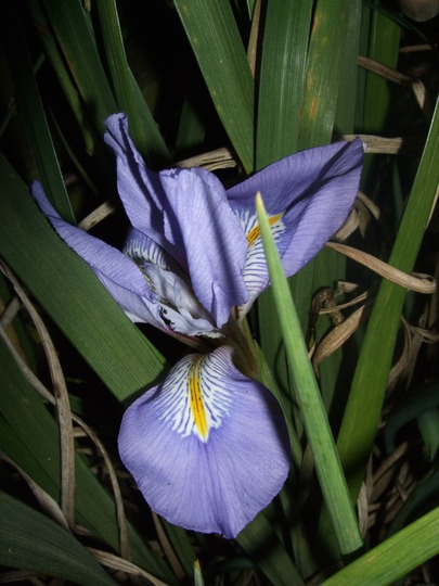 Flower number three! (Iris unguicularis (Iris))