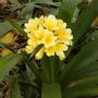 Clivia miniata 'San Marcos Yellow'  (Clivia miniata 'San Marcos Yellow')