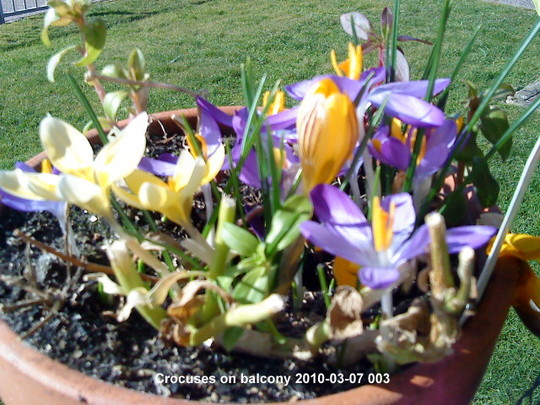Crocuses on balcony 2010-03-07 003 (Crocus chrysanthus (Crocus))
