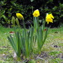 Daffs Starting To Open