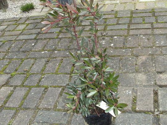 Mountain Pepper   (  Drimys Lanceolata ) (Drimys lanceolata)