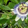 Passion_flower_and_snail_1