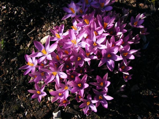 Crocus tommasinianus roseus