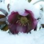 Winters joy. (Helleborus Orientalis)