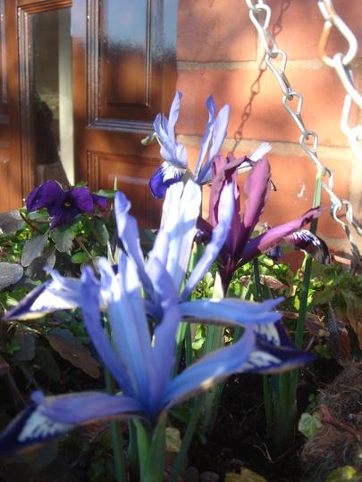 Iris Reticulata in hanging basket - March 2010 (Iris reticulata (Iris))