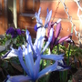 Iris Reticulata in hanging basket - March 2010 (Iris reticulata (Iris))