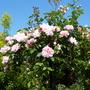 Albertine weeping standard rose