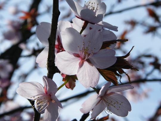 Prunus Sargentii tree (Prunus Sargentii)