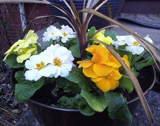 """Spring Treasure"" primulas"