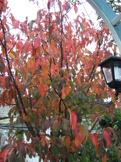 Autumn magic (Prunus Sargentii)