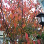 Autumn magic (Prunus Sargentii)