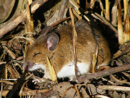 Wood Mouse  (Apodemus sylvaticus )