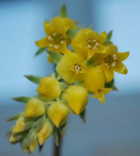 Flowering succulent........ (succulent)