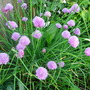 Chives (Allium schoenoprasum (Chives))