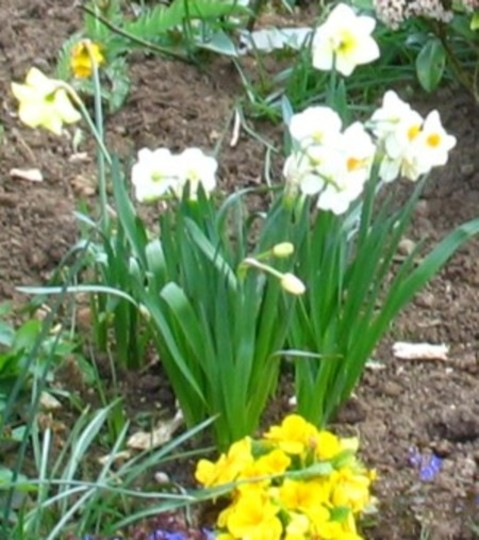 Last of my Daffodils
