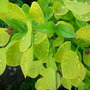 Cotinus Coggyria