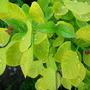Cotinus Coggyria (Cotinus coggygria (Smoke bush))