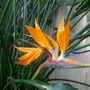 Strelitzia at Kew Gardens (Strelitzia reginae (Bird of paradise))