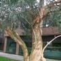 kew - eucalyptus