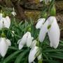 kew - snowdrops (galanthus)