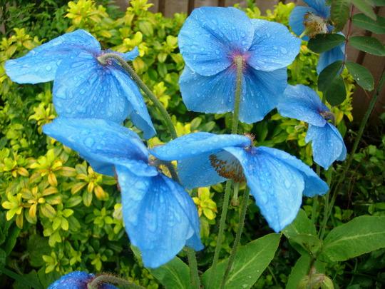 Himalayan Mountain Poppy (Meconopsis betonicifolia (Himalayan blue poppy))