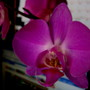 this is the standard size phal in blossom... love lipstick pink!